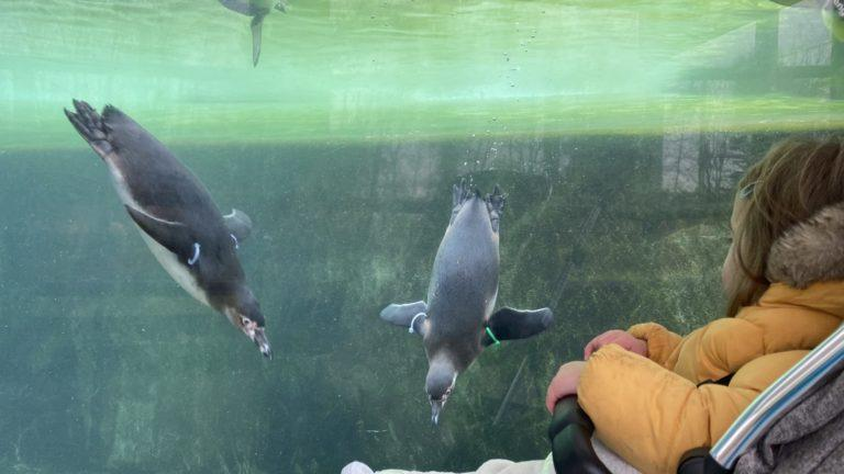 Penguins at Folly Farm