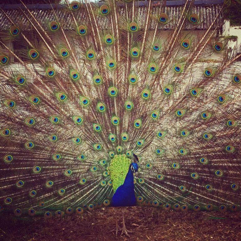 Peacock at Manor Wildlife Park